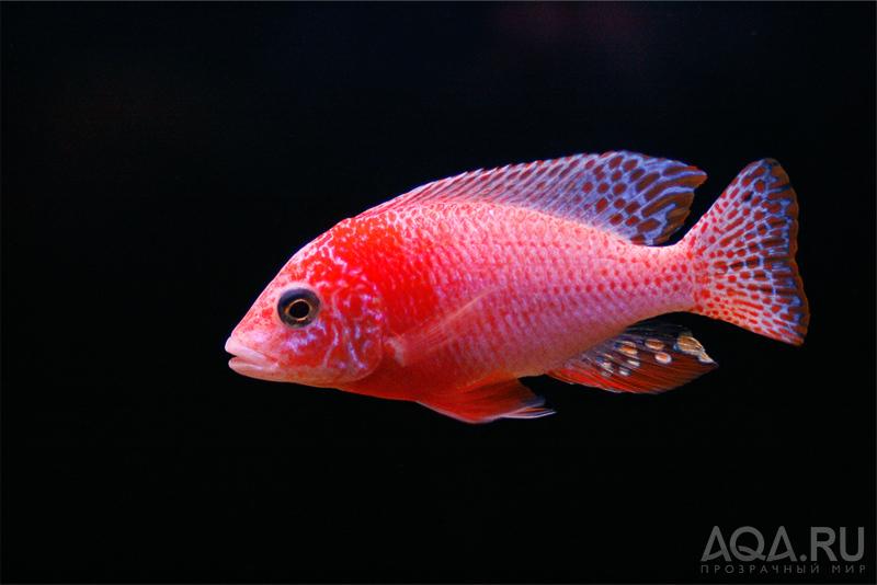 Аквариумные рыбки фото и название купить виды описание