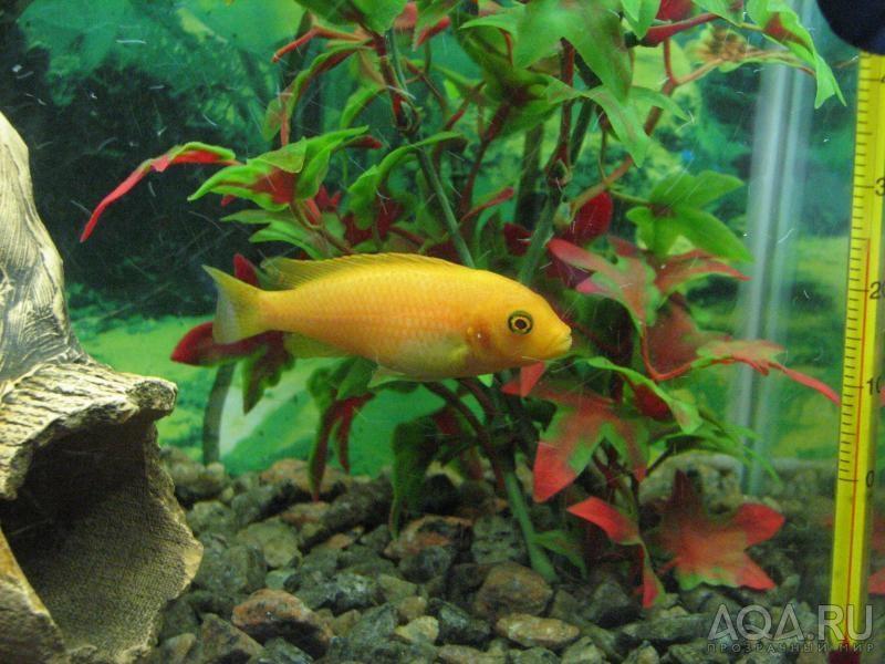 Так же немаловажно соблюдать чистоту в аквариуме, правильное питание и конечно же объем аквариума.