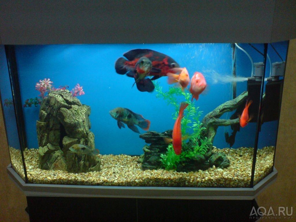 Сколько живут аквариумные рыбки попугаи