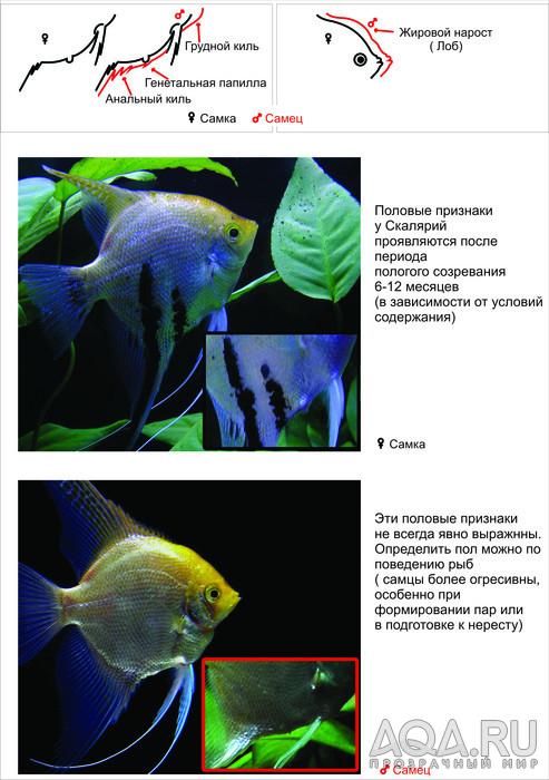 stimulyatsiya-spermatogeneza-u-akvariumnih-rib