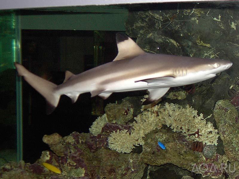 Аку́лы (Selachimorpha) - надотряд хрящевых рыб, включающий восемь отрядов, двадцать семейств и около 350 видов.