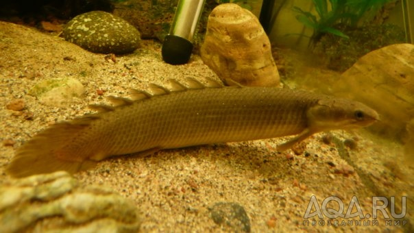 Рыба похожая на змею название
