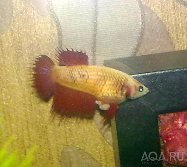 Как выглядит беременная рыбка петушка