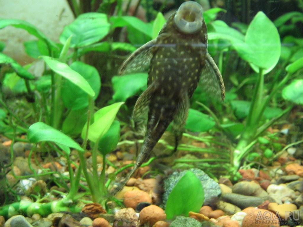 Чем питаются сомики в аквариуме