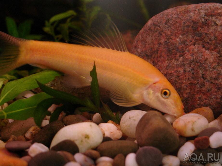 Аквариумные рыбки сомики виды