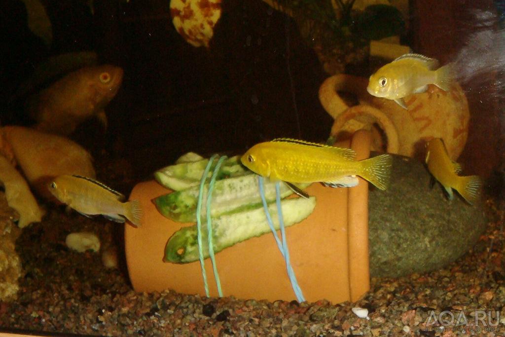 Что едят сомики в аквариуме