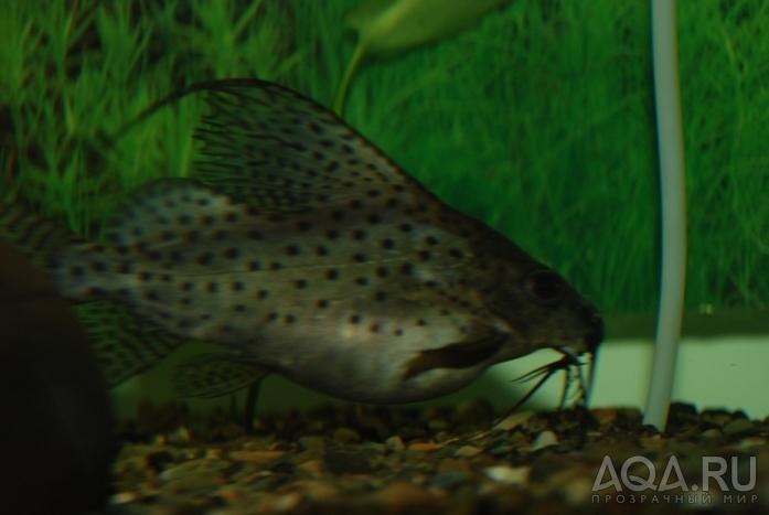 Беременность у сомов аквариумных