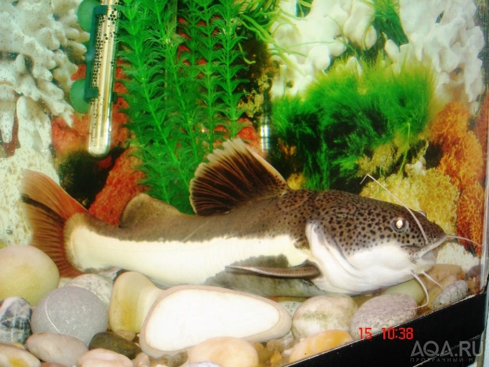 Большой сомик в аквариуме