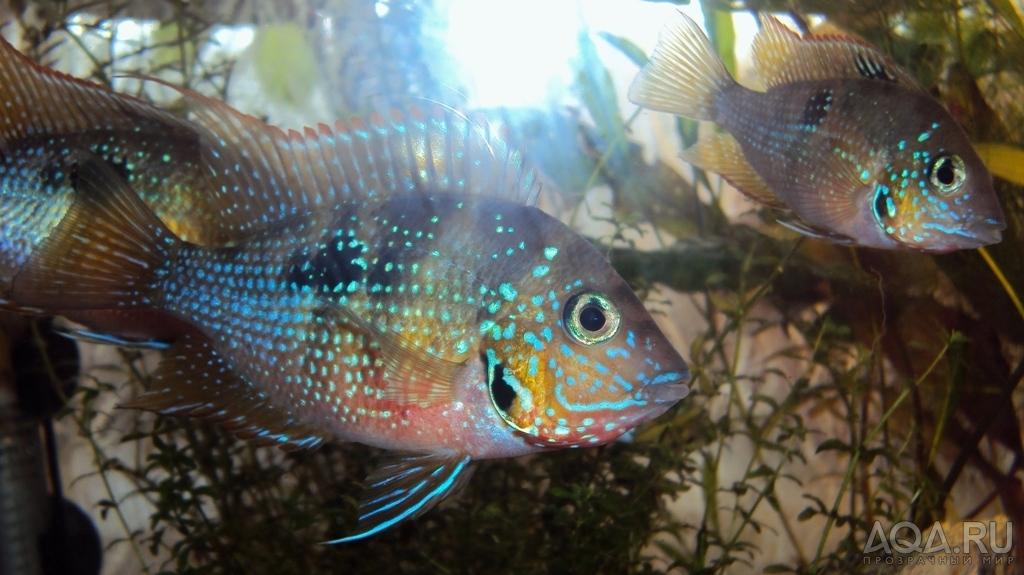 аквариумные рыбки фото и названия цихлиды описания #6