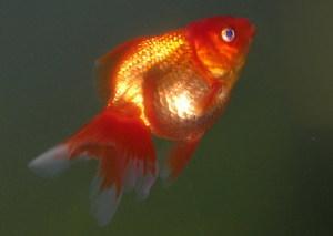 Беременные золотые рыбки фото 99