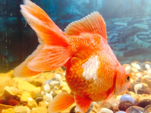 Беременные золотые рыбки фото 90