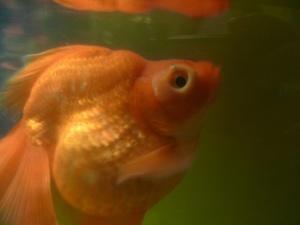 Беременные золотые рыбки фото 91