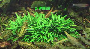 x-Willisii 2