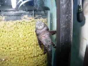 Содержание и описание аквариумного сома плекостомуса | 225x300