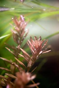 rotala rotundifolia sp green