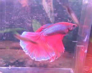 рыбки петушки фото и описание