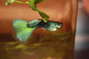 фото водянки золотой рыбки