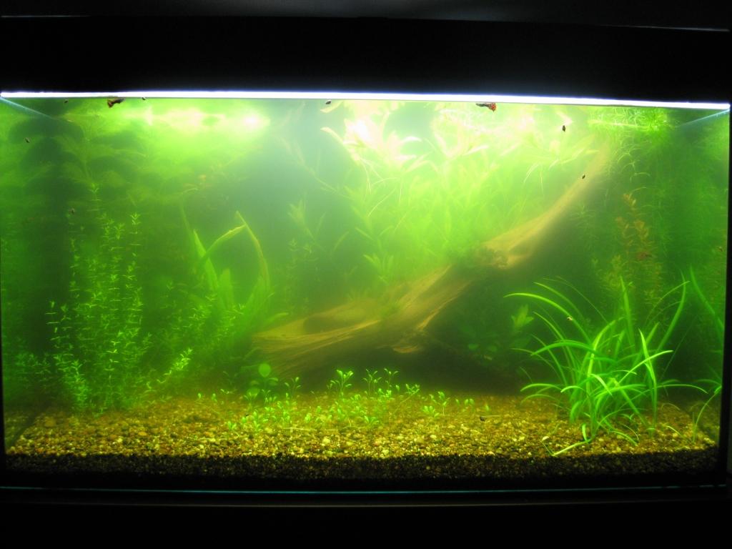 Почему зеленеет аквариум и как с этим бороться