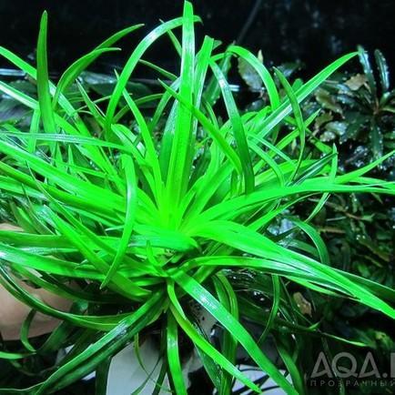 Выращивание Эриокаулонов из семян на водопроводе.